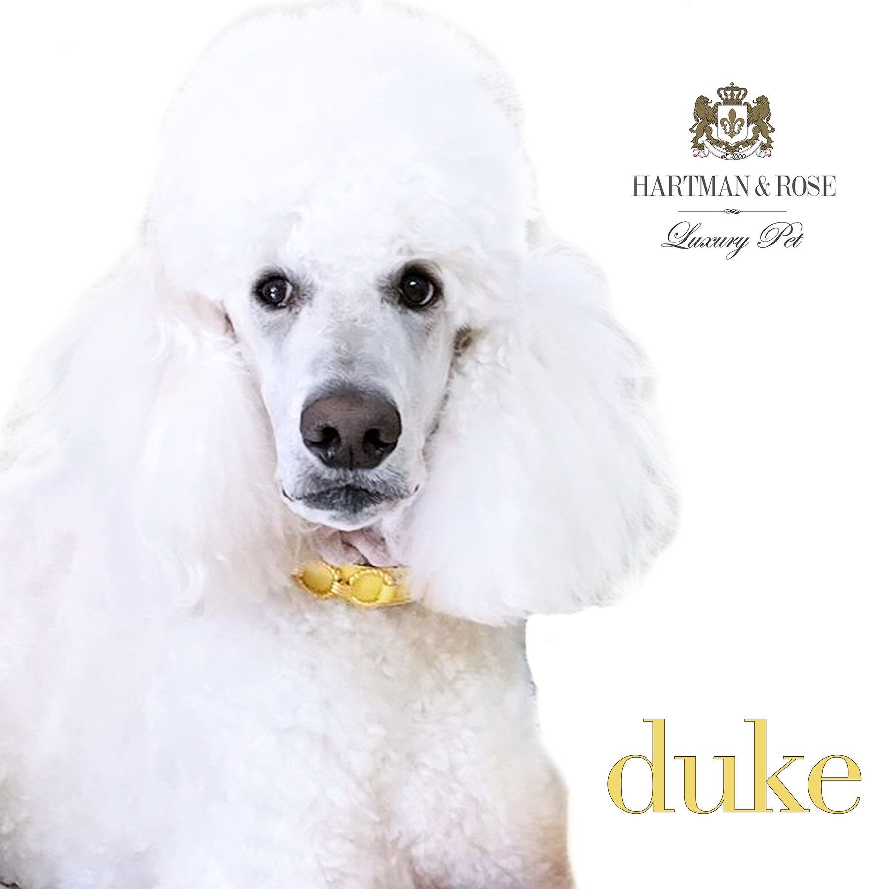 Hartman & Rose Luxury Pet Goods SAVE 40% on your next purchase use code: THANKSGIVING www.hartmanandrose.com This handsome devil is Duke from Sydney, Australia wearing the Athena collar in Canary Yellow. @duke_thepoodle @hartmanandrose #hartmanandrose Exceptions apply