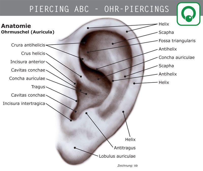 Anatomie der Ohrmuschel | piercing | Pinterest | Anatomie