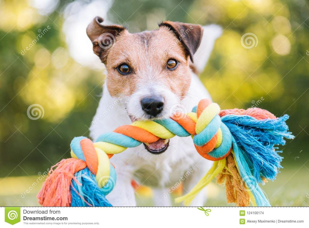 Dog Playing Fetch With Colorful Toy Rope With Images Dogs