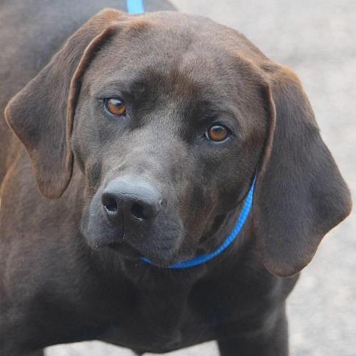 Help this dog find a home! Black Labrador Retriever