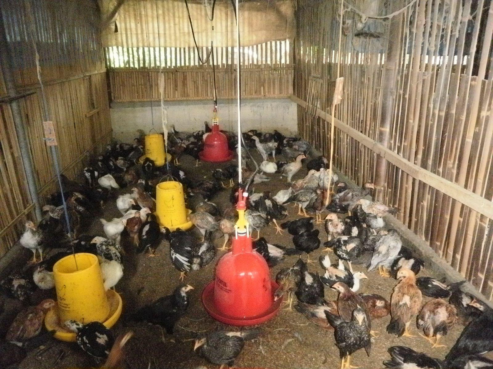 Kandang Ayam Kampung Kandang Ayam Pinterest