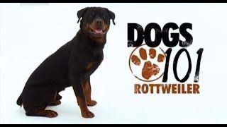 Dogs 101 Rottweiler Eng Video Rottweiler Puppies