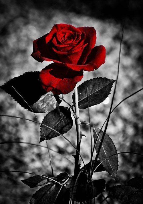 Damn theres always a rose following me d