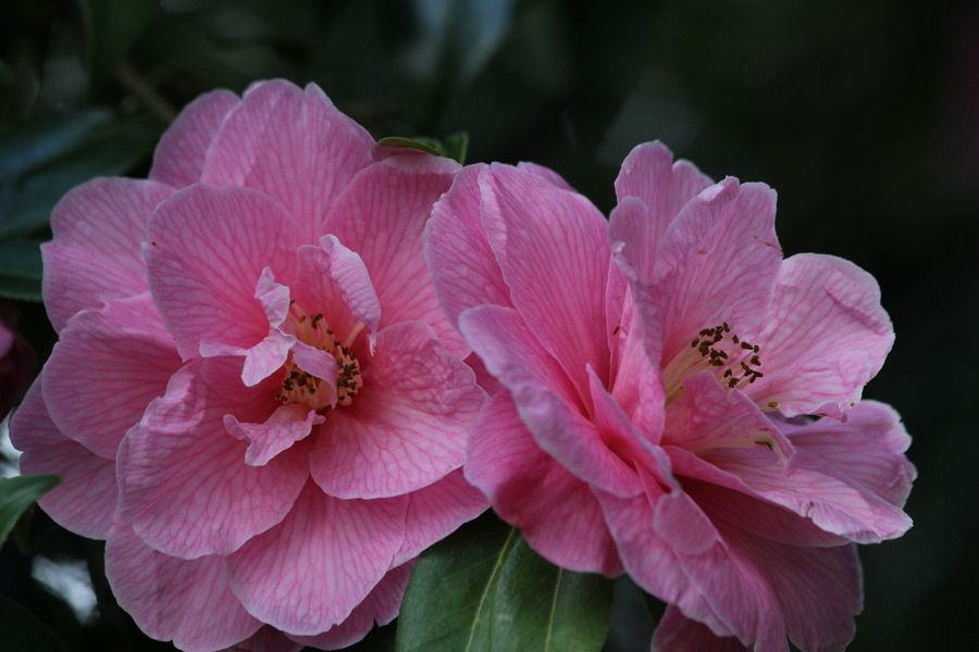 Duo of Pink Camelias by Jean Allenet, via 500px