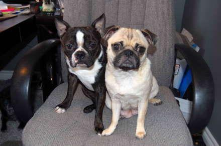 Free Classifieds Hoobly Classifieds Boston Terrier Pug Boston Terrier Designer Dogs