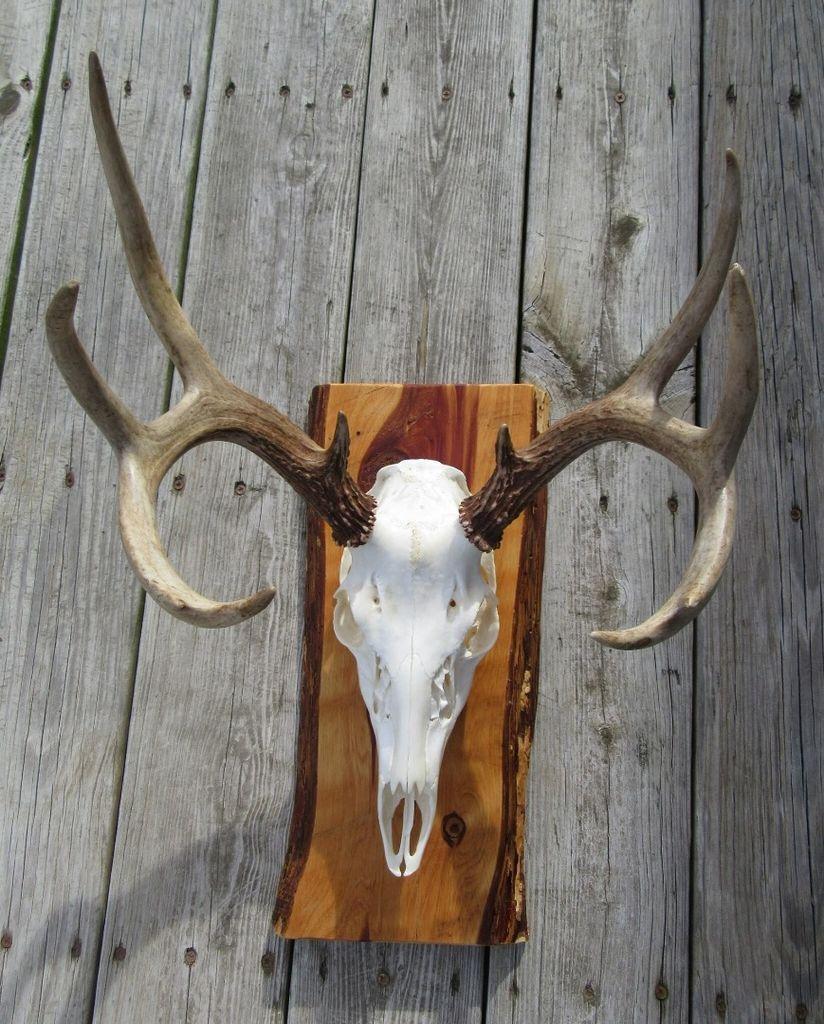 European mounted deer bottle opener wall european mount