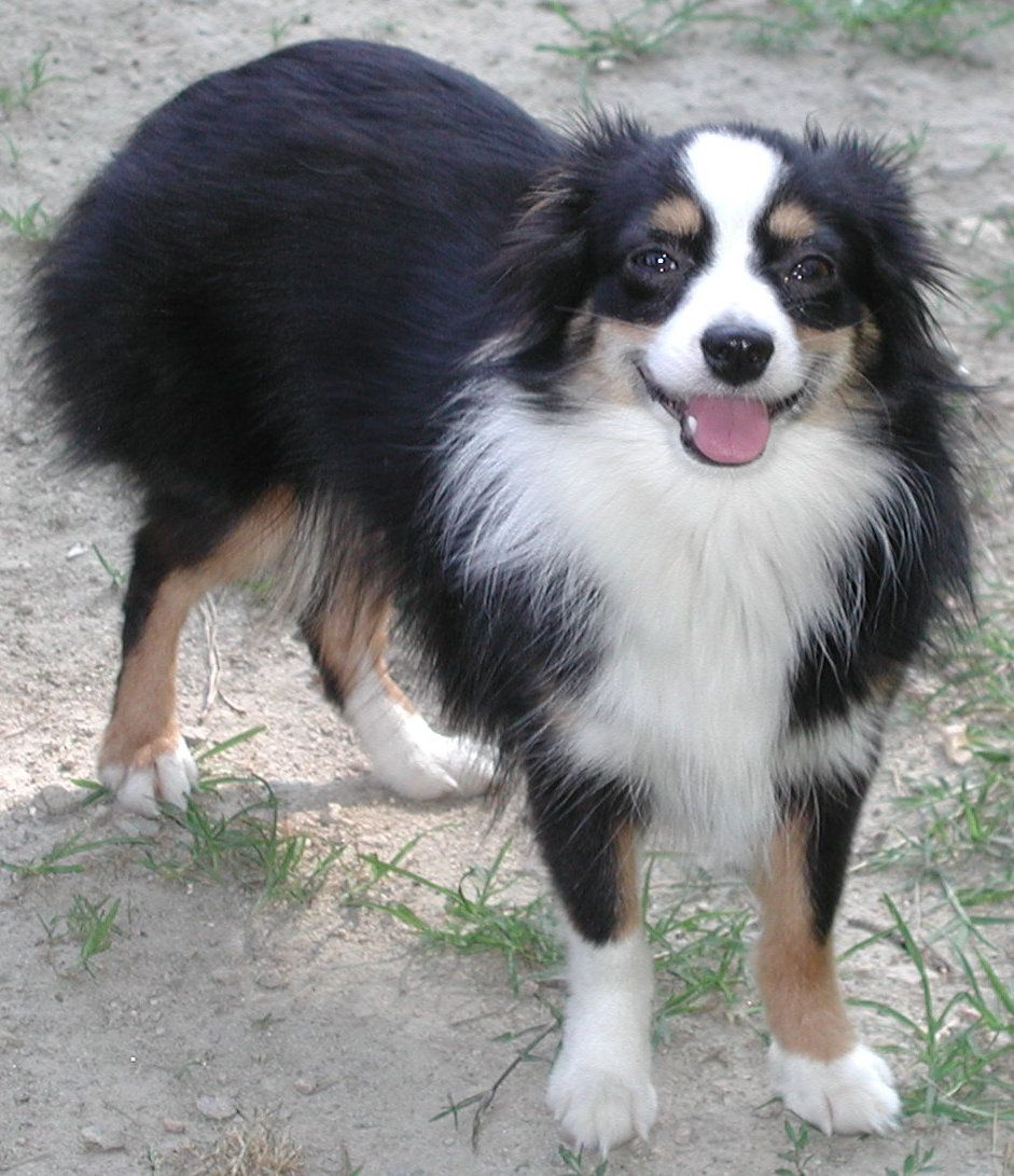 miniature australian shepherd Happy Miniature Australian
