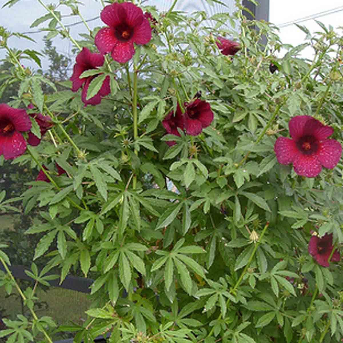 Hibiscus cannabinus hardy tropical plants and look alikes zone 6 hibiscus cannabinus izmirmasajfo Images