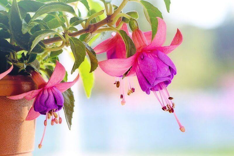 Best Macro Lenses For Canon In 2020 Fuchsia Flowers Dog Friendly Plants Flower Wallpaper