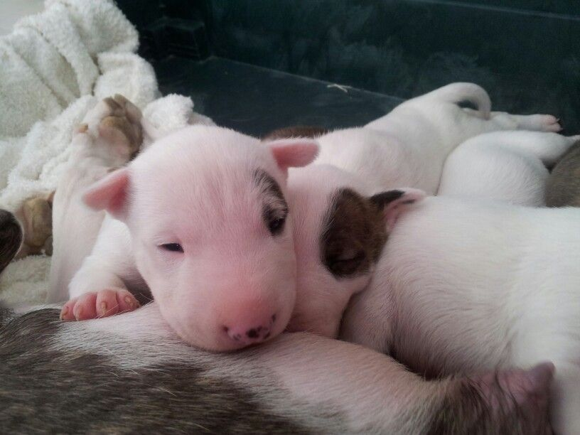 Bullterrier Puppies Bull Terrier Bull Terrier Puppy English Bull Terriers