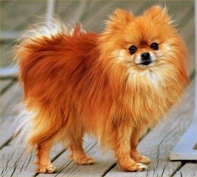 i want a Pomeranian so bad!! I miss my Dakota :'(