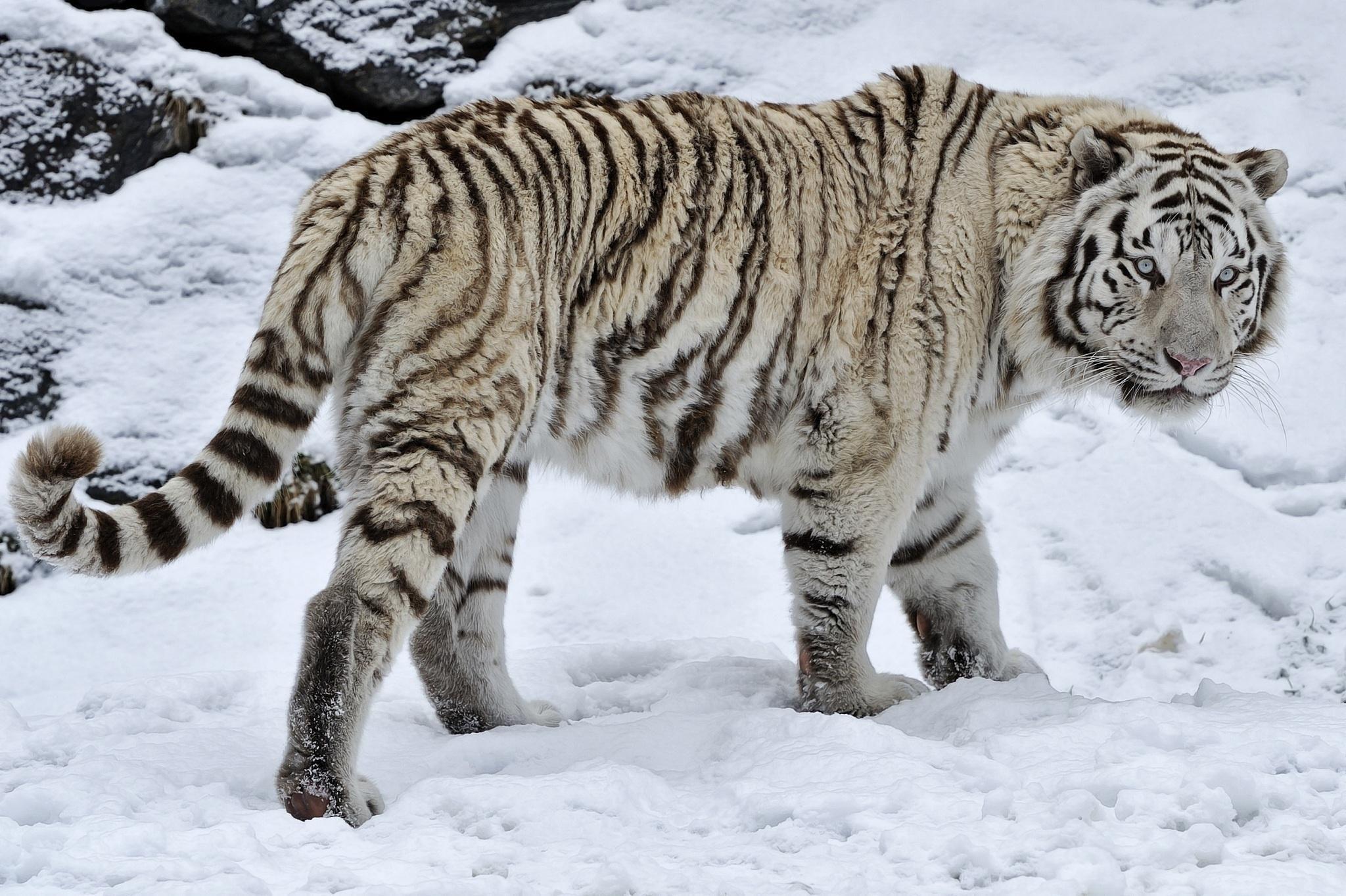 Hd White Tiger Wild Cat Snow Winter High Resolution Wallpaper Snow Tiger White Tiger Tiger