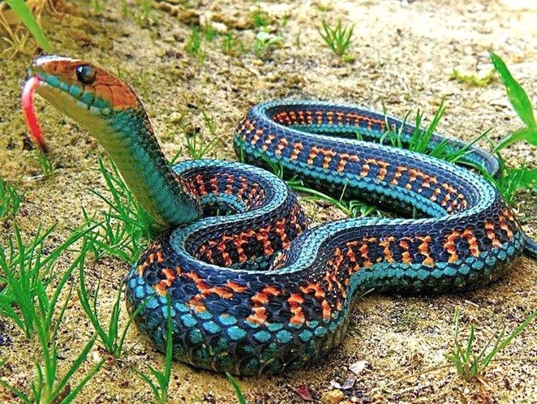California Red-Sided Garter Snake. I lived on the west coast for twenty years, saw hundreds of Garter Snakes, but never one like this.