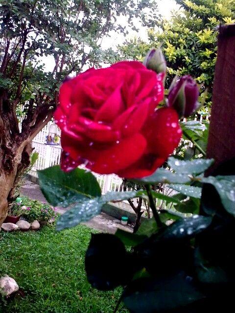 Minha rosa na chuva.