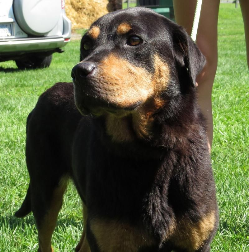 Rottweiler puppies rescue pa