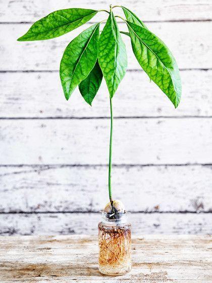 avocadokern einpflanzen so einfach geht 39 s garten pinterest pflanzen garten und garten. Black Bedroom Furniture Sets. Home Design Ideas