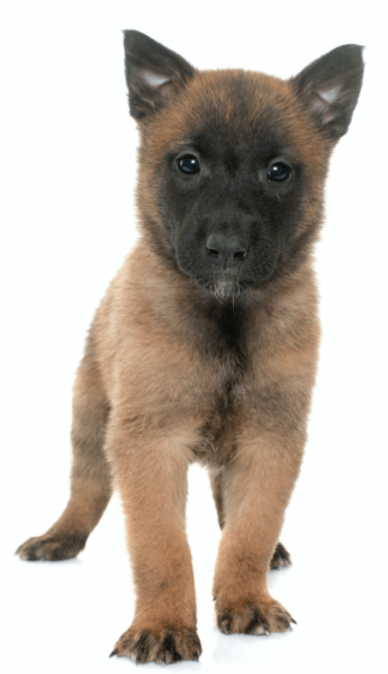 Puppy Gallery Belgian Malinois Puppies Belgian Malinois Malinois Puppies For Sale