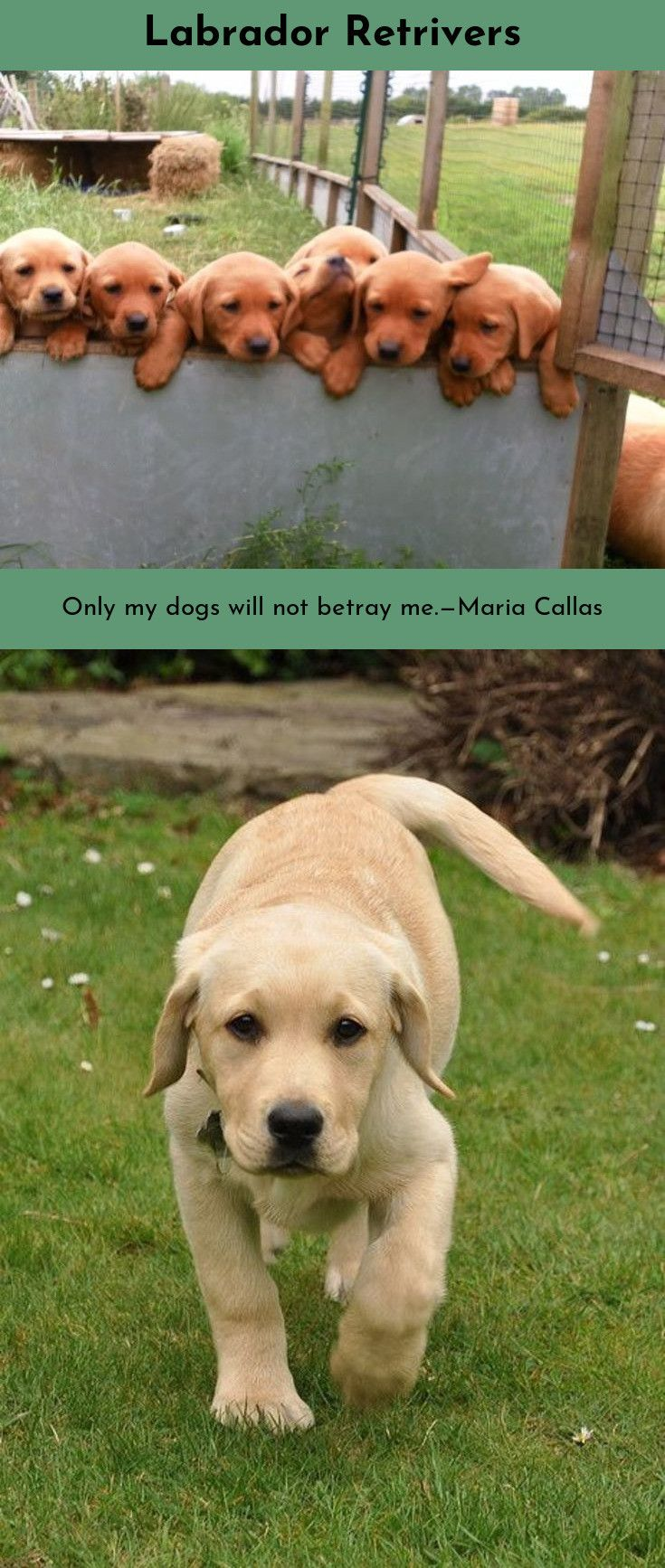 Labrador Retriever Intelligent And Fun Loving Labrador Retriever Labrador Lab Puppies