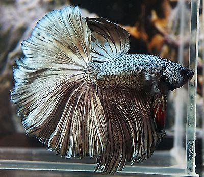 Live Betta Fish Metallic Green Copper Hm Halfmoon Male Ch021 Betta Fish Green Copper Betta