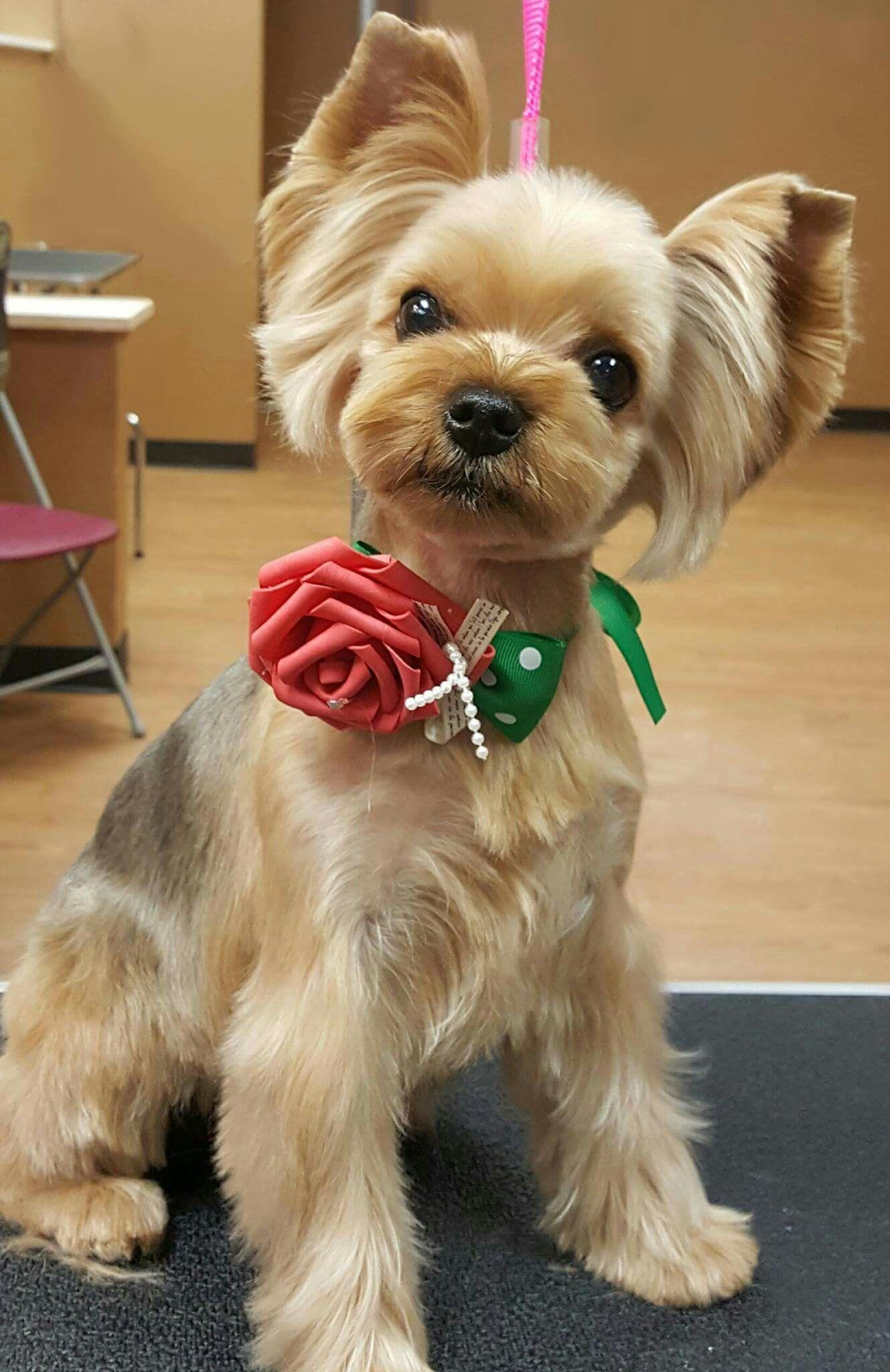Yorkie head variation. Yorkie with cute ears. Dog grooming