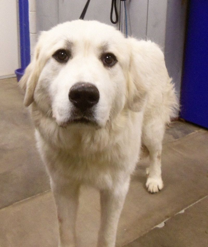 Adopt Marshmallow on Great pyrenees dog, Animal shelter