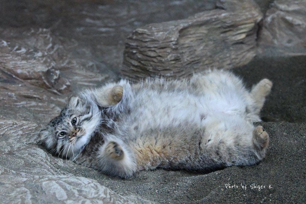 Dw3wginu8ae8lfc Jpg 1 024 682 Pixels Pallas S Cat Manul Cat Small Wild Cats