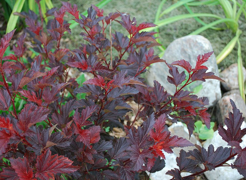 Ninebark 'Center Glow' Plants, Garden, Glow