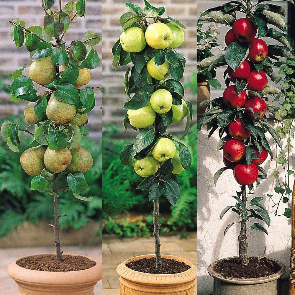 The Best Dwarf Fruit Trees To Grow In Pots Fruitgarden Dwarf Fruit Trees Growing Fruit Trees Fruit Trees Backyard