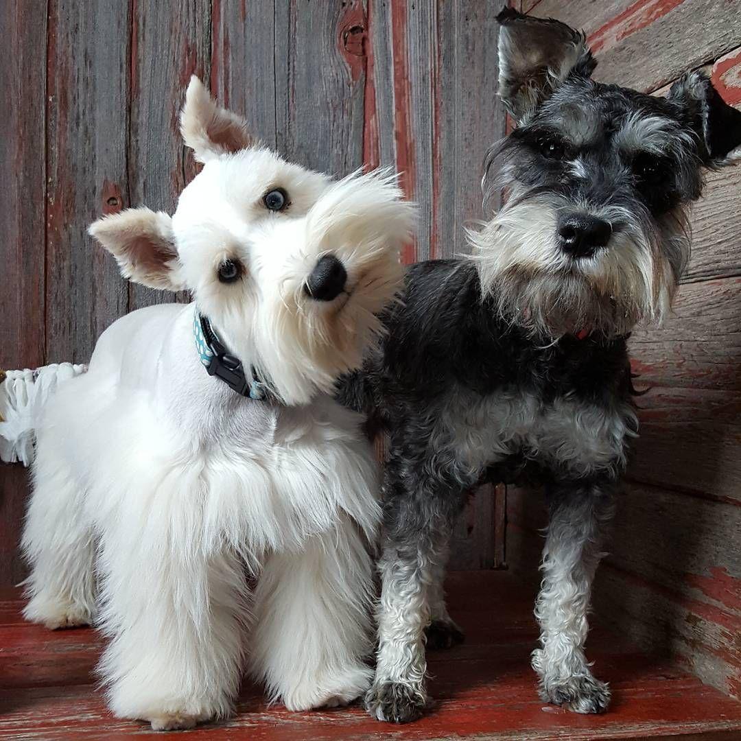 See This Instagram Photo By The Schnauzer House 785 Likes Schnauzer Puppy Miniature Schnauzer Puppies Mini Schnauzer Puppies