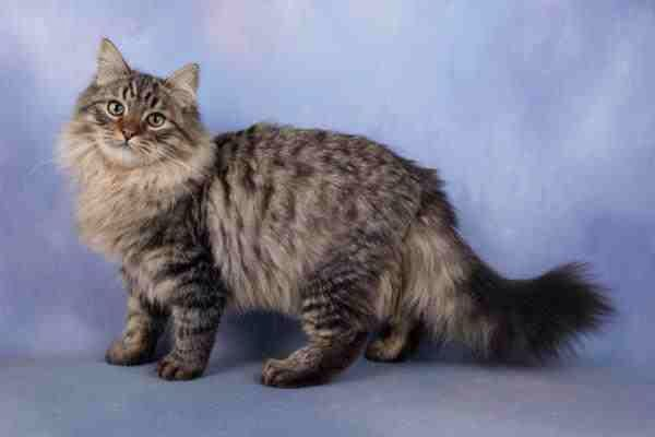 Siberian Forest Cat It S A Beauty Cat Breeds Long Haired Cats