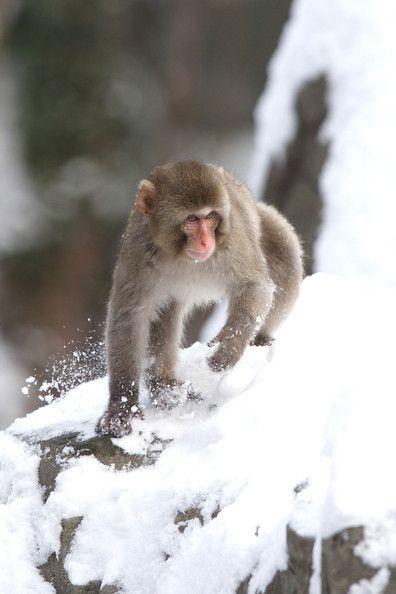Snow Monkeys at the Central Park Zoo   Monkeys, monkeys, & more