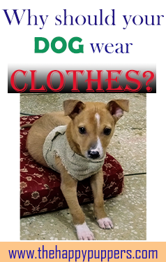 Photo of Should DOGS wear CLOTHES?