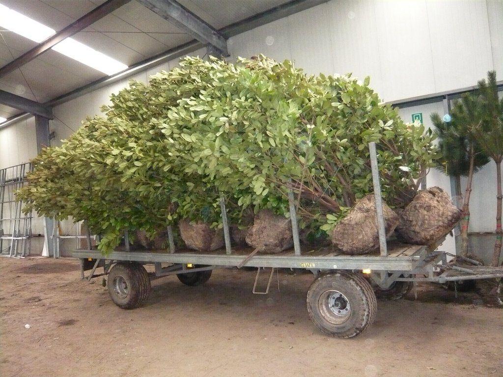 Verladung von Prunus Kirschlorbeer in der Größe von 300 500cm