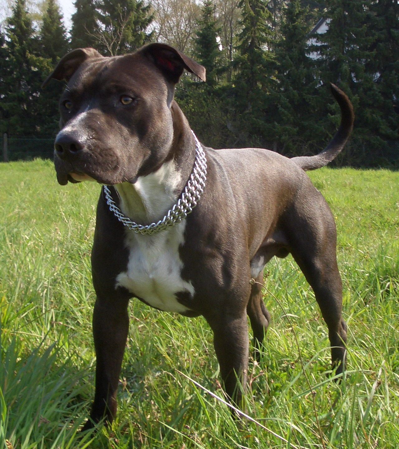 American Staffordshire Terrier American Staffordshire Terrier