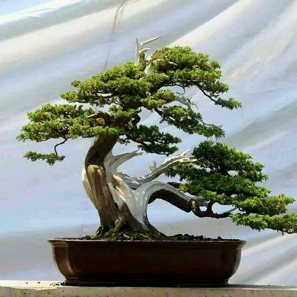 Bonsai Tattoo Meaning: Pin By Albert Flores On Cool