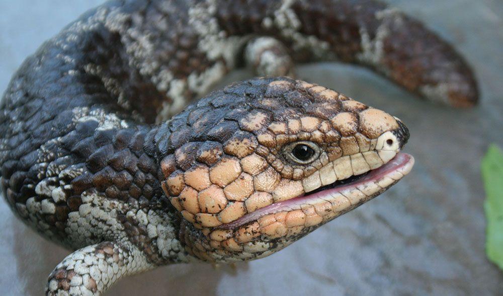 World's first lizard nidovirus found in Aussie bobtails