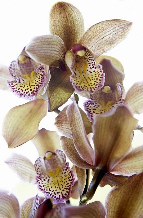 Cymbidium Orchid Flower By Kyle Rothenborg Printscapes In 2020 Cymbidium Orchids Orchid Flower Orchids