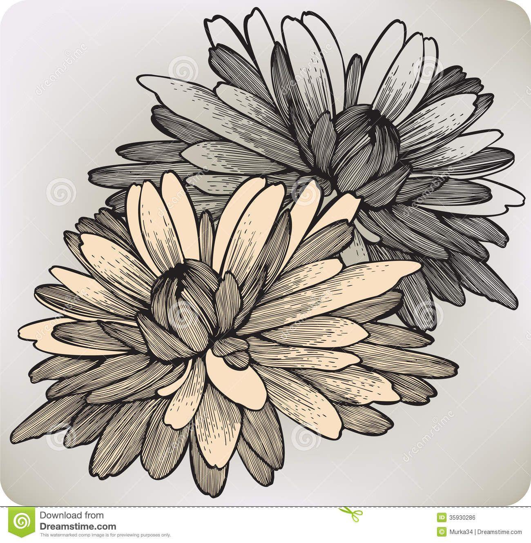 Chrysanthemum Flower Hand Drawing Vector Illustr Chrysanthemum Chrysanthemum Flower Chrysanthemum Drawing