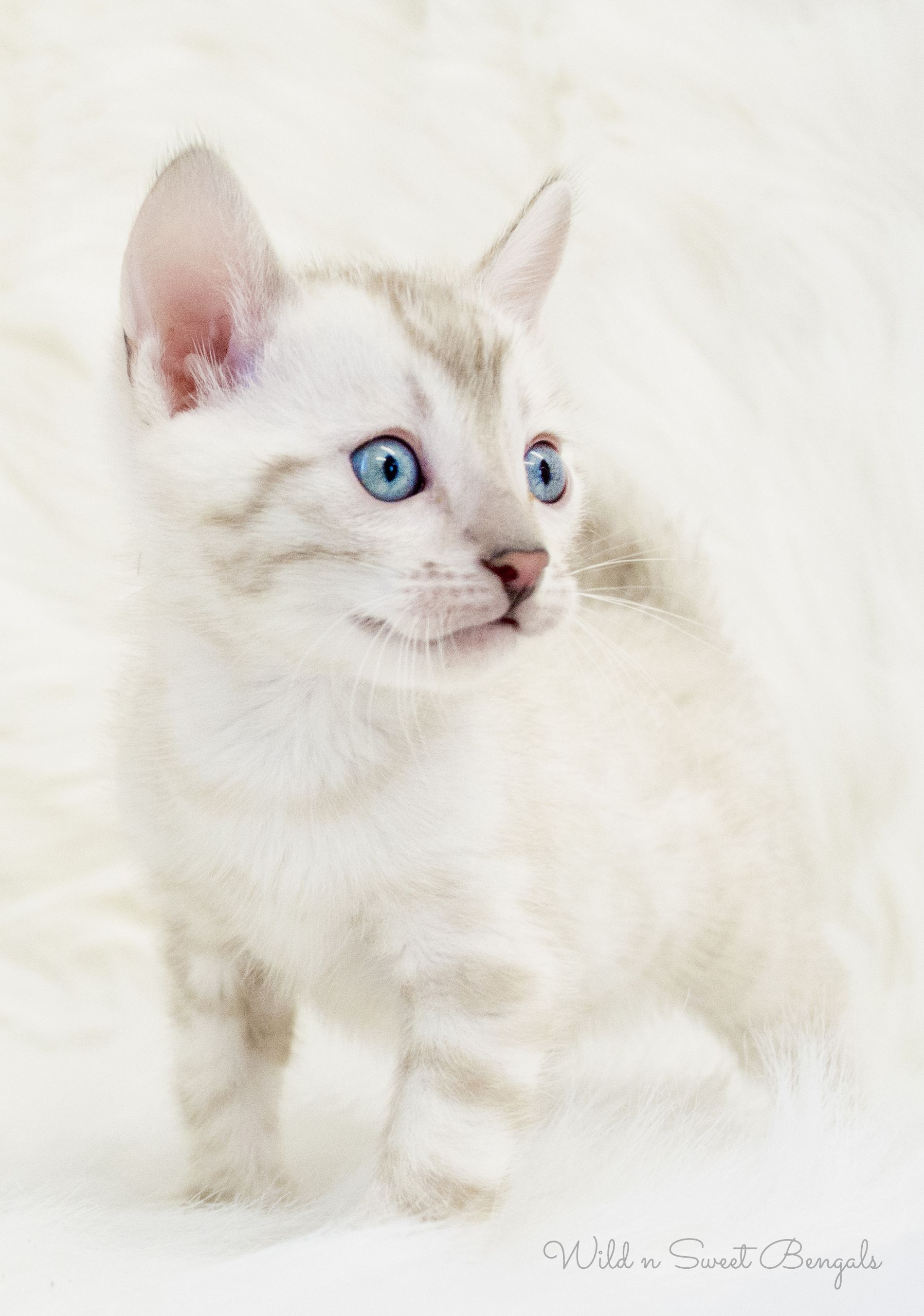 Adorable Silver Snow Bengal Kitten See More Beautiful Bengal Cats And Kittens At Www Wildnsweetbengals Com Bengal Kitten Bengal Cat Bengal Cat Breeders