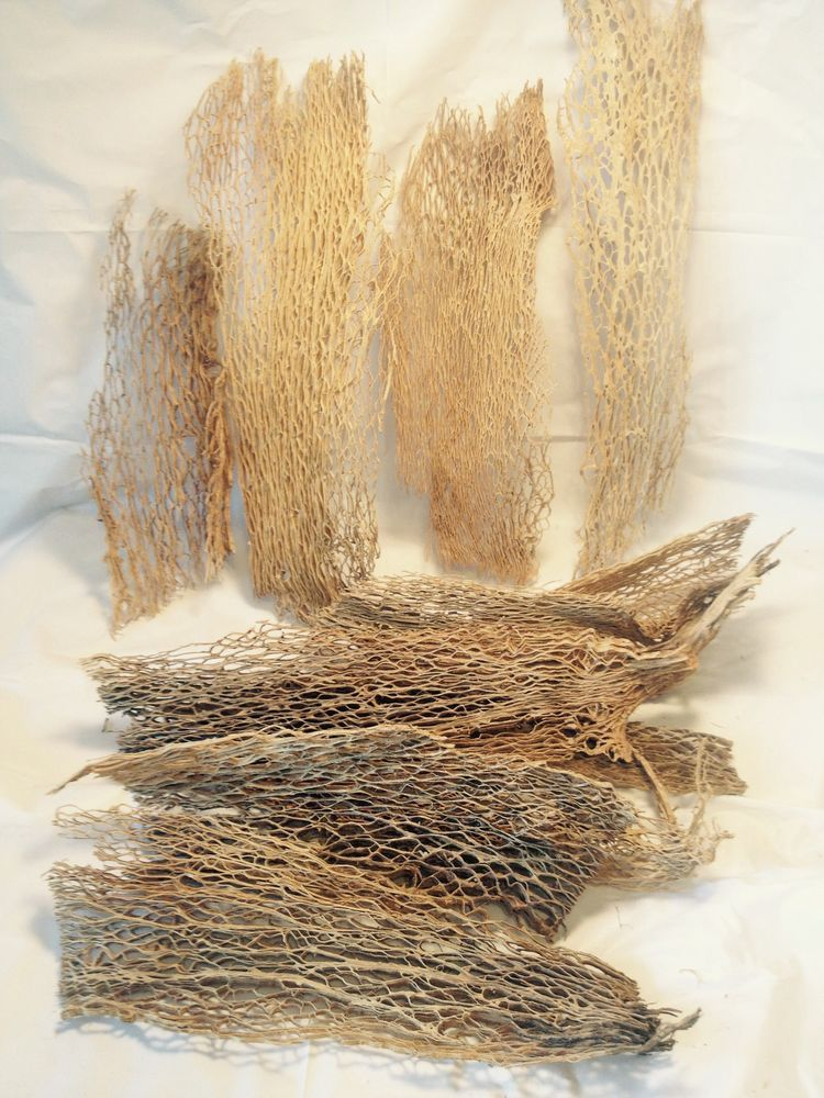 Cactus Skeleton Pricly Pear Dried Floral Crafts All Natural Craft Material Wood Allnaturalwood
