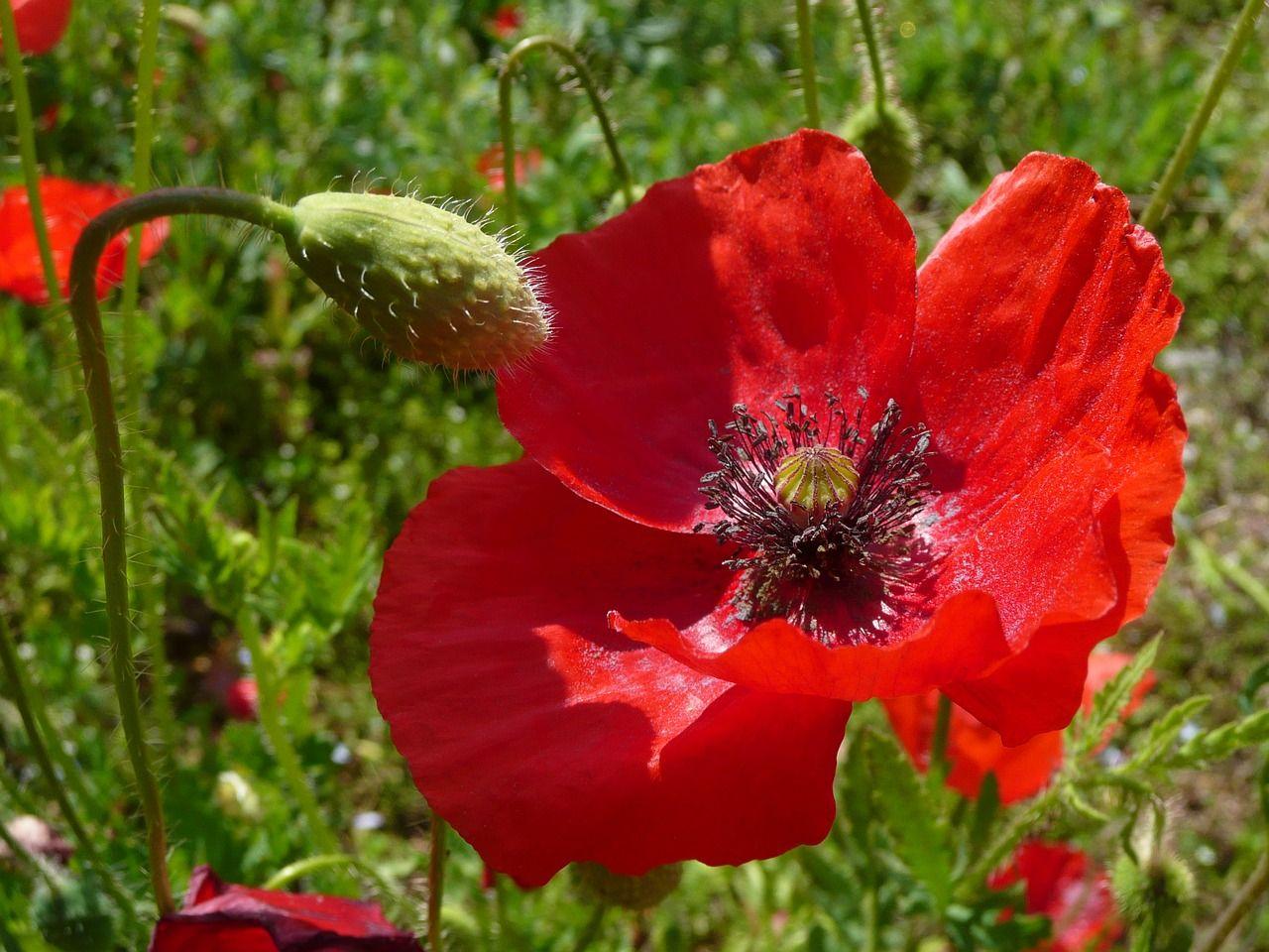 Italy Poppy Field Of Poppies Red Flower Italy Poppy