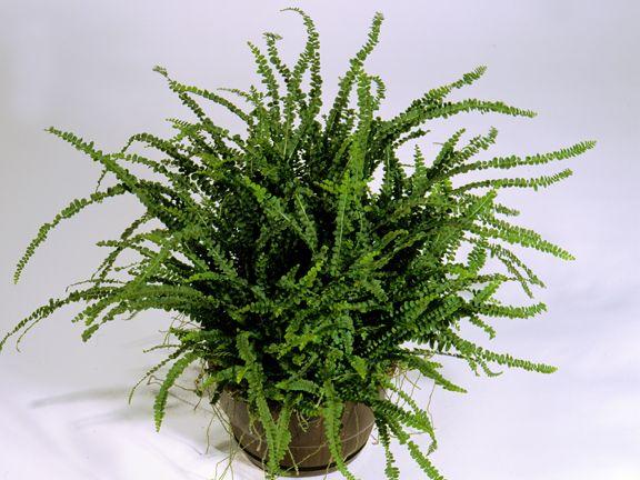 Nephrolepis Cordifolia Plants Indoor Plants House