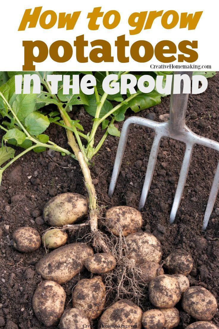 How To Grow Potatoes Potato Gardening Home Vegetable 400 x 300