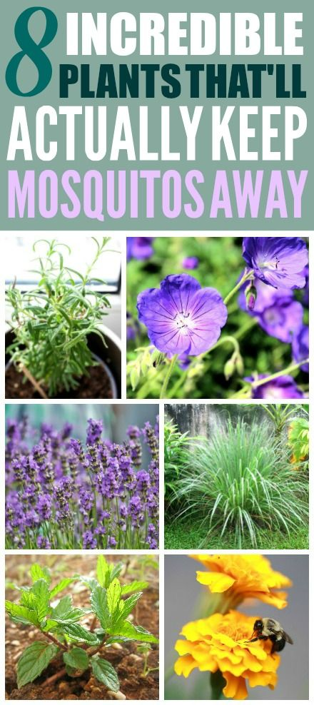 8 Plants That'll Actually Keep Mosquitos Away #mosquitoplants