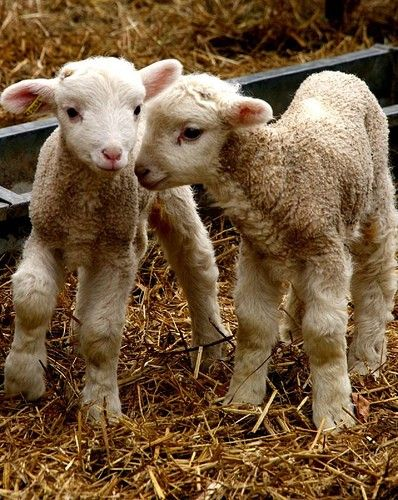 Cute spring lambs