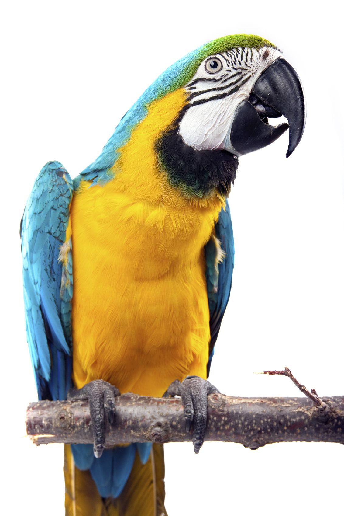 Blue & Gold Macaw 1,500 Our Birds