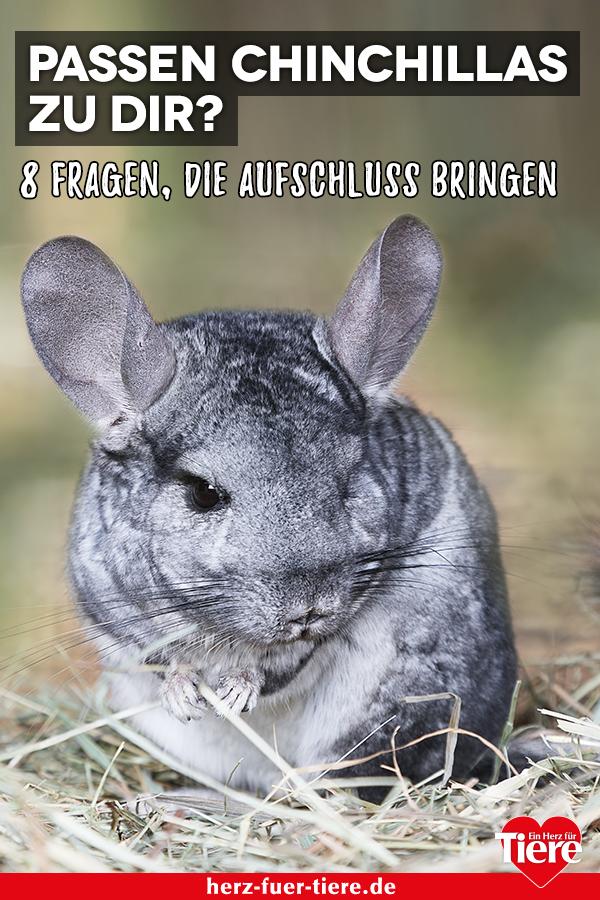 Finde Jetzt Heraus Ob Chinchillas Die Richtigen Haustiere Fur Dich Sind Chinchilla Haustier Chinchilla Exotische Haustiere