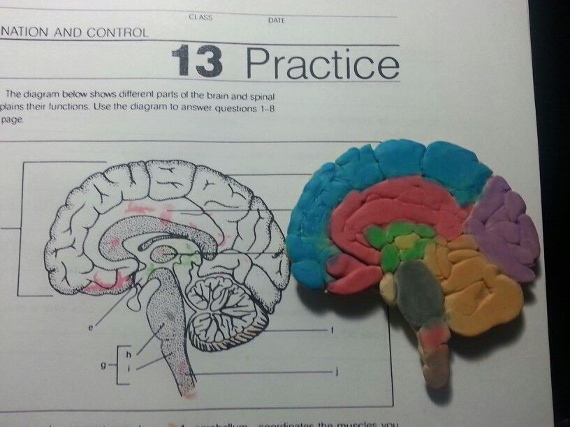 Brain project! | Human body activities, Brain models, Ap psych
