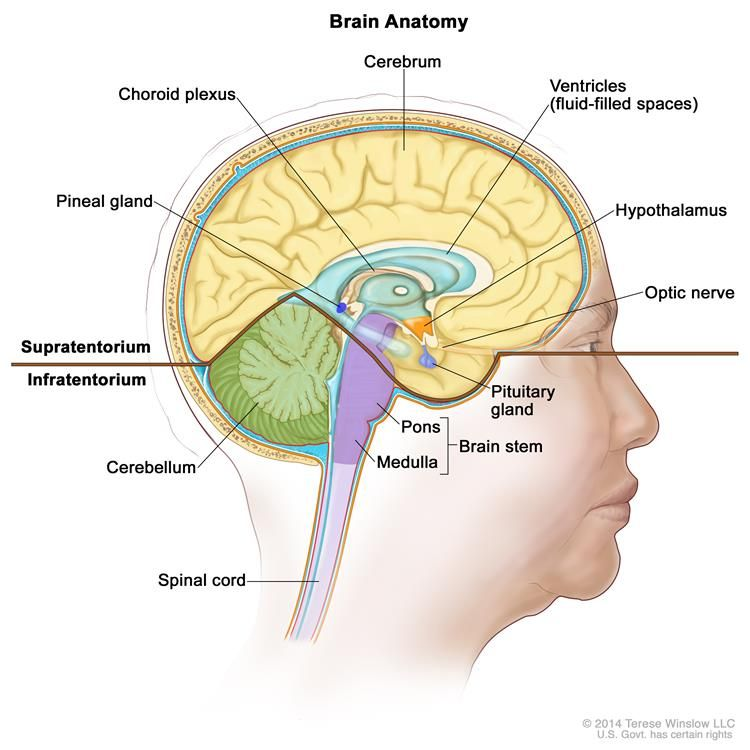 pineal gland cords and lower backs on pinterest : lower brain diagram - findchart.co