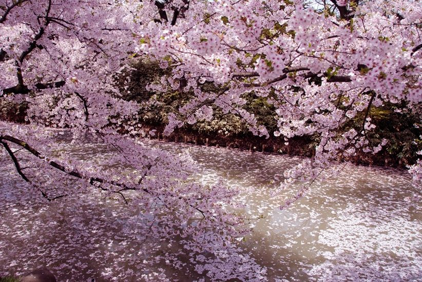 Cherry Blossom Season In Tokyo Cherry Blossom Season Cherry Blossom Japan Tokyo Cherry